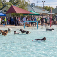 Lots of dogs in the pool at the Capital K9s Dog Paddle