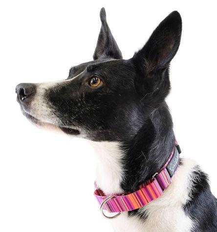 Gold Paw Martingale Dog Collar, Sunset, Large